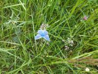 papillon-bleu