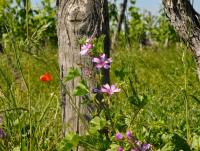 fleurs-vignes