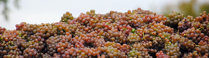 vendanges 2016 au Mongeat